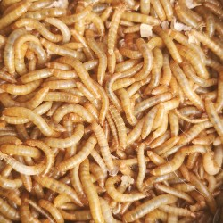 Live Mealworms Mini (9-13mm)