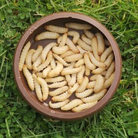 Live Waxworms (15-25mm)
