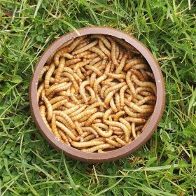 Live Mealworms Regular (25-30mm)