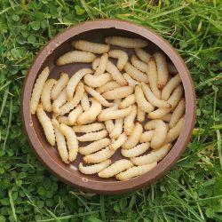Live Waxworms (15-25mm)