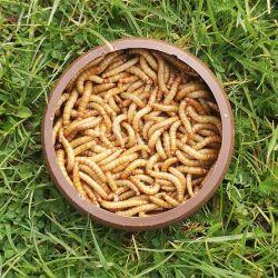 Live Mealworms Regular (25-30mm)