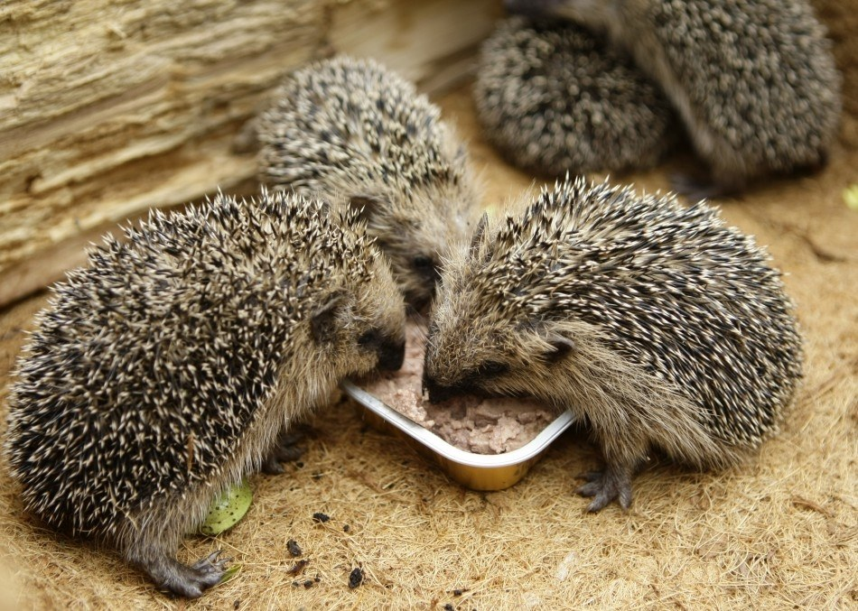 Hedgehogs eating Spike's Meaty Feast